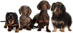 dachshund footer